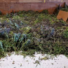 CBD Hemp Biomass and Hemp Fibre Biomass from Our Portland Hemp Farm Available. 100,000 lbs - 125,000 lbs Available!